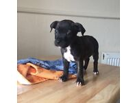 Two staffy puppies for sale, white male (£300) & Black female (£250)
