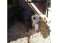 Shetland for share first pony