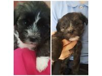 Weshi puppies for sale