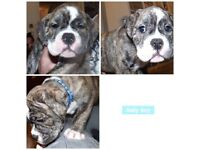Merle old tyme bulldog puppy for sale due to bereavement no time wasters