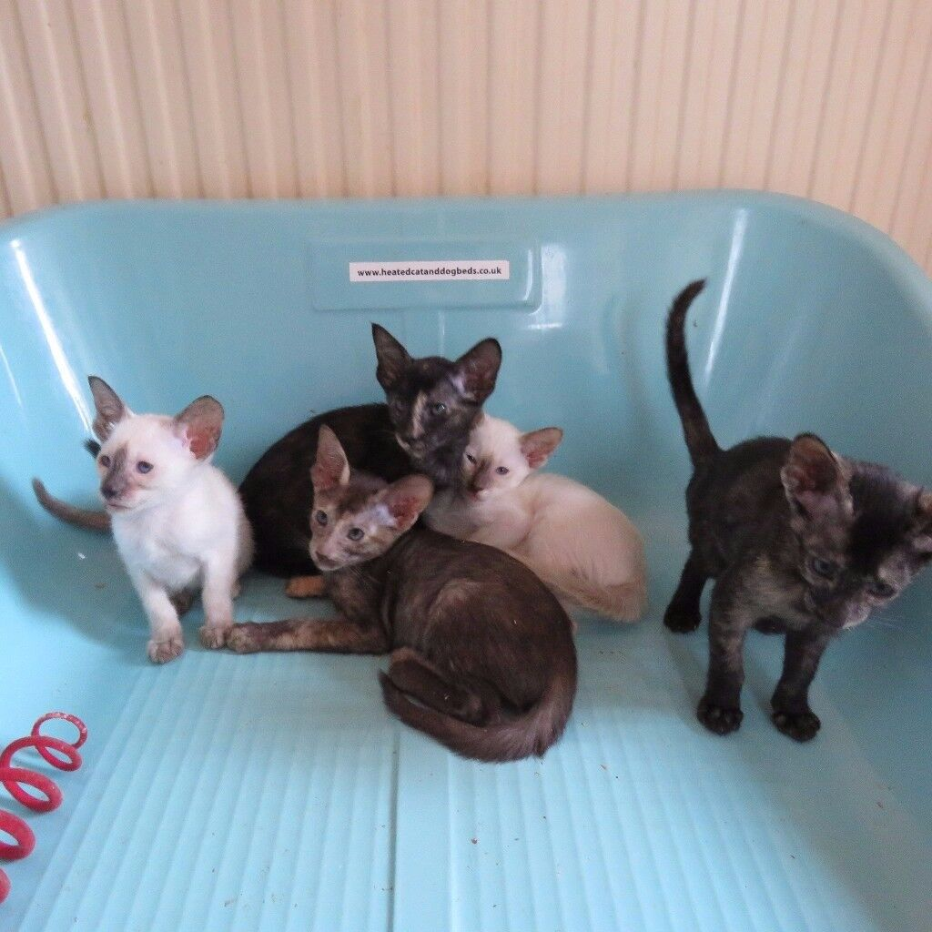 Adorable Litter of Siamese & Oriental Kittens for sale