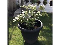 Large rhodedendron