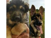 7 months German Shepherd x