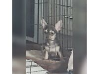 Small Pure breed apple head Chihuahua boy puppy ready to leave
