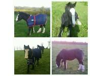 Gorgeous young Black cob for sale
