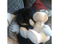Scottish terrier X french bulldog