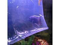 Blue chichid