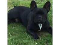 French bull dog full KC 12 months old