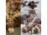 GCCF Registered Ragamuffin Cats/ Kittens. Brother and Sister. Blue (grey) Tabby. Very Like Ragdolls