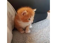 Rare beautiful female ginger kittens very long haired