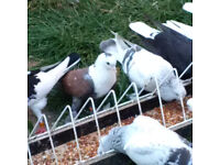 Fancy Pigeons for sale £10 each only red homer £15