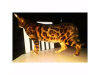 Top pedigree tica registered bengal kittens for sale