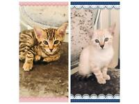 Bengal kittens for sale £350