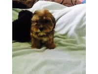 Cavapoo 1 male and 1 female puppy