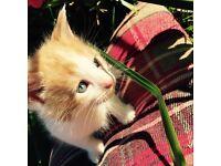 Stunning half mainecoone kittens