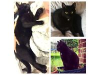 *MISSING* BLACK NEUTERED MALE CAT