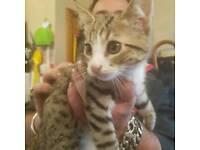 Lovely bengal cross kittens