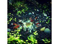 5 Shrimp 30 Malaysian Trumpet Snails