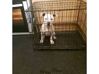 Selling 15 week old white Staffordshire bull terrier