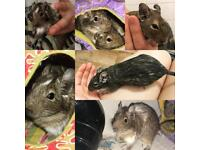 Female degus looking for loving home