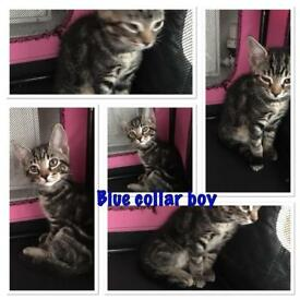 Tabby /Russian blue mix.. sales
