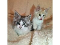 Pure Maine Coon Fluffy Kittens Smokey Black & Ginger