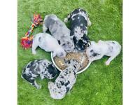 Merle French Bulldog Puppies
