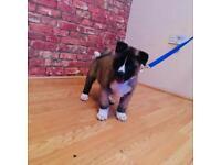 American Akita pups for sale