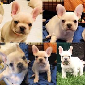 READY NOW LAST 2 FRENCH BULLDOG PUPPIES