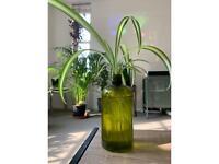 Hydroponic spider plant
