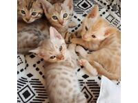 Bengal kittens, champion sired, rare blue Charcoal and Cinnamon included!
