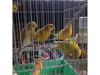 Canaries £40 a pair