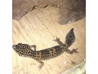 2 female Leopard and fat tailed geckos