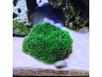 Large Green Star polyp coral colony