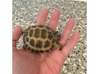 baby horsefield tortoise with brand new 2ft vivarium includes everything