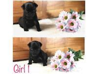 KC Reg black Pug Puppies