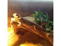 Male Bearded Dragon & Full 4ft Vivarium Set Up with Cabinet - Lovely Nature approx 2 years old