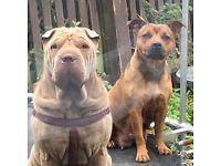 Staffy x shar pei puppy