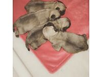 4 beautiful KC registered pug pup / puppies for sale