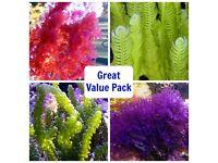 Chaeto. Macro Algae for the Marine Tank, Seahorse Aquarium & Reef Tank. Beautiful as Coral Frags !