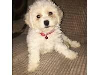 Bichon Frise Pups For Sale