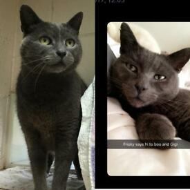 Beautiful Russian blue male seeks new home x