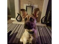 Husky x american bulldog 9 month boy