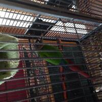 green checked conure pair