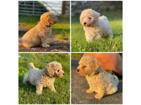 Gorgeous Champagne Poochon Puppies F1