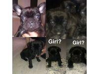 French bulldog puppy's 🐶