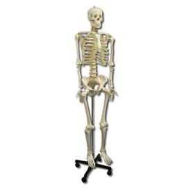 Medical Skeleton for sale £100. In very good condition