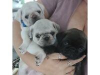 Sliver chinchilla kc registered pug puppy