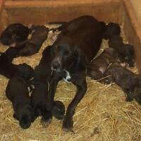 ukc registered plott hound puppies