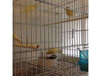 Pairs rhinelander canaries